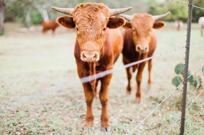 Hofmann Ranch Cattle | Wedgewood Weddings