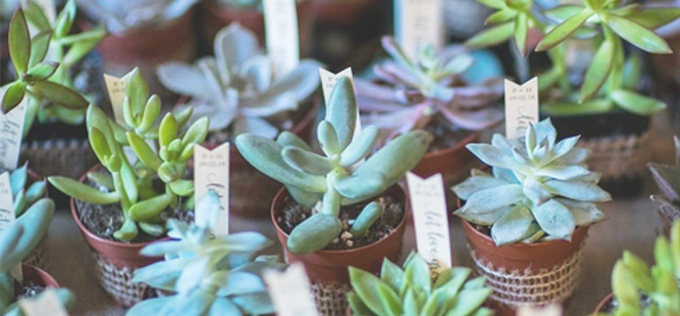 Wedding favor succulents